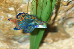 Mandarin fish (Pterosynchiropus splendidus) Stock Photos