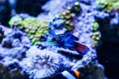 Mandarin fish Synchiropus splendidus royalty free stock photography