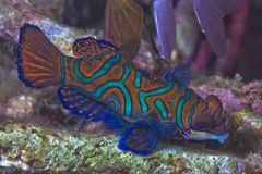 Mandarin fish Royalty Free Stock Image