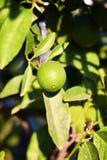 Mandarin fruit Royalty-vrije Stock Afbeeldingen