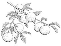 Mandarin fruit graphic branch black white isolated sketch illustration. Vector Royalty Free Stock Images