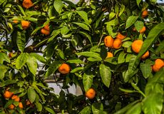 Mandarin fruit hanging on tree branches subtropical plant.  Stock Photo