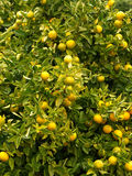 Mandarin fruit tree Stock Photography