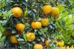 Mandarin fruits tree Royalty Free Stock Photo