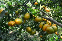 Mandarin fruits on the tree. In Mekong Delta, southern Vietnam. Tangerines (mandarin oranges) have more anti-oxidants than oranges Royalty Free Stock Image