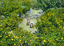 Mandarin garden at jeju island Korea Stock Photo