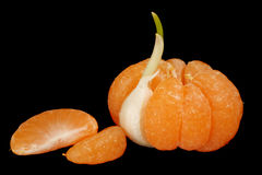 Mandarin with garlic clove. Mandarin with one segment replaced by garlic clove and two separate mandarin segments, isolated on black Stock Images