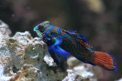 Mandarin goby. The mandarin goby at the reef royalty free stock photo