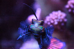 Mandarin goby is also called the Mandarin dragnet Synchiropus sp royalty free stock photography