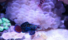 Mandarin goby is also called the Mandarin dragnet stock photography