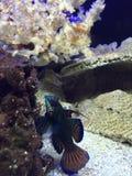 Mandarin goby fish marine. Male mandarin goby marine fish Royalty Free Stock Images