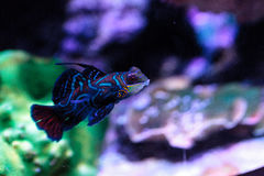 Free Mandarin Goby Is Also Called The Mandarin Dragnet Synchiropus Sp Royalty Free Stock Image - 93381986