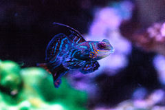 Free Mandarin Goby Is Also Called The Mandarin Dragnet Synchiropus Sp Royalty Free Stock Photos - 93381998