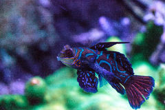 Free Mandarin Goby Is Also Called The Mandarin Dragnet Synchiropus Sp Royalty Free Stock Photography - 93910547