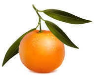 Mandarin with leaves. Photo-realistic . Mandarin with leaves Stock Images