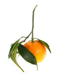 Mandarin with leaves, isolated Royalty Free Stock Images