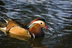 Mandarin male duck swimming Stock Photo