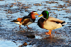 Mandarin and Mallards. Meeting in the ice Royalty Free Stock Images
