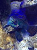 Mandarin marine fish. Male mandarin goby marine fish Royalty Free Stock Photography