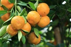 Free Mandarin Orange Royalty Free Stock Photo - 17676695