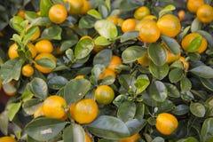 Mandarin orange. A fresh and healthy orange fruit on a tree Stock Photo