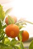 Mandarin orange with green leaves. Against sun light stock photo