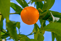 Mandarin orange growing on te tree Royalty Free Stock Photo