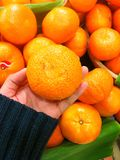 Mandarin orange in hand. Royalty Free Stock Photo