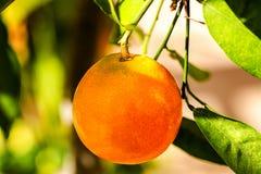 Mandarin Orange Hanging on Tree Royalty Free Stock Photos