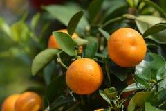 Mandarin orange Stock Photo
