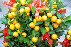 Mandarin Orange Plant royalty free stock photos