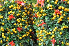 Mandarin Orange Plants Stock Images