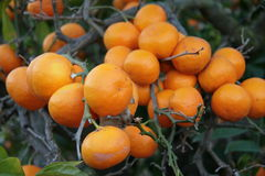 Mandarin orange tree Royalty Free Stock Photography