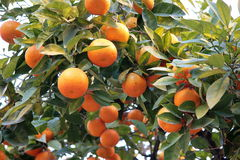 Mandarin orange tree Stock Photography