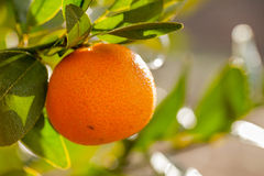 Mandarin orange on tree branch. California organic oranges on tree branch Mandarin orange Stock Images