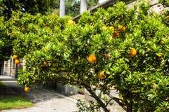 Mandarin Orange tree in with fresh fruit on brances. Royalty Free Stock Images