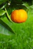 Mandarin orange tree in the garden Stock Photography
