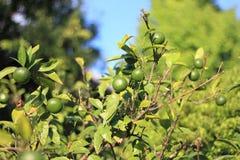 Mandarin orange tree Royalty Free Stock Photos