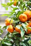 Mandarin orange tree Stock Photo