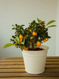 Mandarin Orange Tree Royalty Free Stock Photography