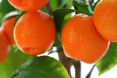 Mandarin Oranges. Growing on a tree stock images