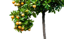 Mandarin oranges growing on a tree Stock Photos
