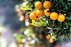 Mandarin Oranges Royalty Free Stock Photos