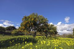 Mandarin orchard in springtime Stock Photo