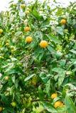Mandarin på trädet Arkivbilder