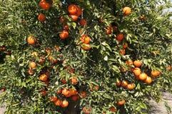 Mandarin på trädet i plockningsäsong arkivfoto