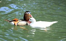 Mandarin and pekin ducks Stock Image