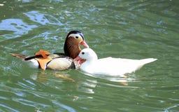 Mandarin and pekin ducks. Colorful mandarin and white pekin ducks floating on the water next to an autumn leaf Stock Image