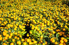 Mandarin plants at the New Year market, Hong Kong Royalty Free Stock Photo