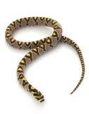 Mandarin Rat Snake Royalty Free Stock Photography
